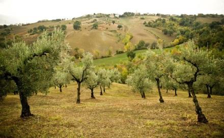 Nudo Italia's Rosalio grove near Loro Piceno